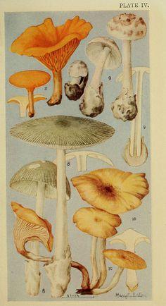 Field book of common gilled mushrooms : - Biodiversity Heritage Library Japon Illustration, Botanical Illustration, Botanical Drawings, Botanical Prints, Plakat Design, Mushroom Art, Nature Drawing, Nature Prints, Poster Prints