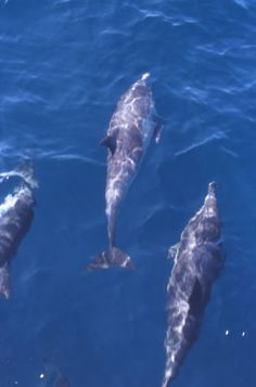 Dolphins off Isla Cedros, Halloween 2001. I took this shot from the bow of a fishing trawler delivering fishermen and their families from the Islas San Benito back to Cedros for Day of the Dead observances.