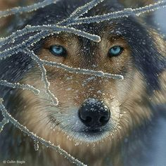 Beautiful wolf with eyes as cold and majestic as Queen Elsa.