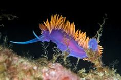 "Nudibranch... not too shabby for a ""sea slug"", eh?"