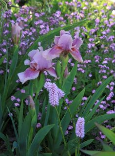 Iris 'Raspberry Blush' with pink forget-me-not and persicaria