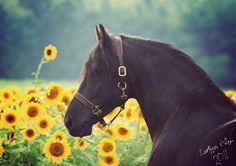 Friesian Among Sunflowers - dutch, horses, black, friesian, holland