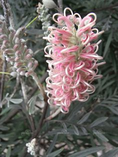 Garden Flowers - Annuals Or Perennials Grevillea Misty Pink Misty Pink Grevillea Information and Photos.I Love This Pink Grevillea I Will Be Planting One Of These Too Unusual Flowers, Unusual Plants, Exotic Plants, Pink Flowers, Beautiful Flowers, Colorful Flowers, Australian Wildflowers, Australian Native Flowers, Australian Plants