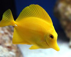 Yellow Tang - Easy to have in a home salt water tank.  Territorial, can be aggressive to other tangs.  Either only have one or alot so they can not establish a territory.
