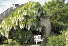 White White Wisteria, Garden Of Eden, Topiary, Perennials, Vines, Garden Design, Park Benches, Climbers, Cottages