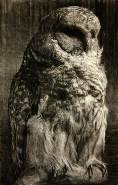 Barred Owl I