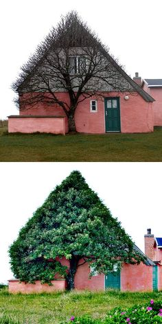 """**Shelter from the storm. Photographer Marianne Kjølner snapped this photograph of a bizarre tree in Denmark. Of the photo she says: """"This old pink house is situated at the old dunes, a few hundred meters from the west coast, a very windy place were there isn't much that can grow. So the tree can only grow where it has shelter. It has looked this way always."""" - via colossal"""