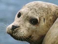 Harbor Seal Wallpaper Wallpapers) – Wallpapers and Backgrounds Harbor Seal, Sea Otter, Ocean Life, Cute Baby Animals, Polar Bear, Dolphins, Cute Pictures, Creatures, Sea Lions