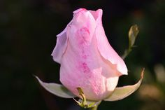 Rose Rose, Flowers, Plants, Pictures, Pink, Roses, Planters, Flower, Plant