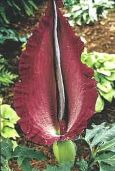 Dracunculus vulgaris, Voodoo Lily. When it blooms, it smells like a corpse. Great for those neighbors you just can't stand ;).
