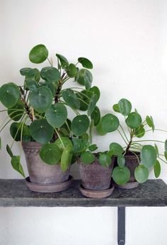 The Best Indoor Plants for Your Office or Home Indoor Garden, Garden Pots, Indoor Plants, Trees To Plant, Plant Leaves, Flower Landscape, Green Plants, Pot Plants, Flowers Nature
