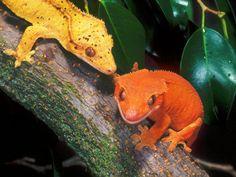 New Caledonia Crested Gecko Cute Reptiles, Reptiles And Amphibians, Mammals, African Bush Viper, Animals And Pets, Cute Animals, Pet Lizards, Crested Gecko, Tortoises