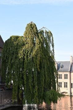 Popular on 500px : THE WEEPING BEECH by magdaindigo