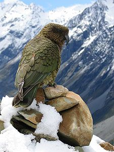 Kea, the New Zealand mountian parrot, they are incredibly smart and tend to steal things, like parts of your car. (this picture is very LOTR) Pretty Birds, Beautiful Birds, Animals Beautiful, Cute Animals, All Birds, Birds Of Prey, Love Birds, Exotic Birds, Colorful Birds
