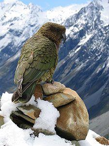 Kea, the New Zealand mountian parrot