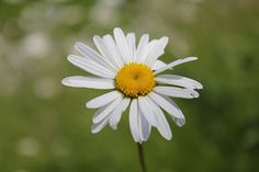 Wild daisy at Peckforton Castle Cheshire