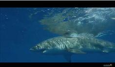 Grand requin blanc, le requin le plus majestueux de l'espèce.