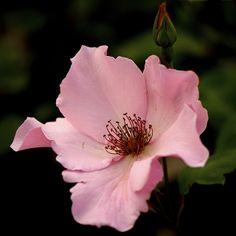 Rose 'Dainty Bess'