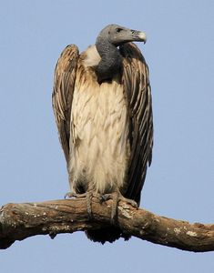 Slender-billed Vulture Gyps tenuirostris - Google Search
