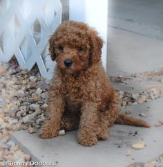 Oh so cute red mini Australian labradoodle at the Trinity Doodle Outback :)