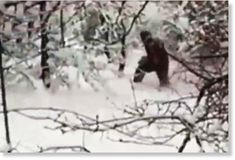 Is this proof of bigfoot? New 'yeti' video shows giant hairy beast walking through forest Yeti Sightings, Bigfoot Sightings, Bigfoot News, Bigfoot Sasquatch, Bigfoot 2017, Paranormal, Bigfoot Footage, Bigfoot Pictures, Pie Grande