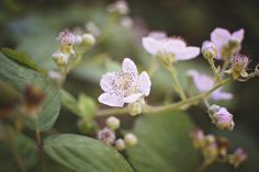 365 Images of 2016 » Grace Cameron Photography. Wild raspberry or blackberry blossoms in Washington State