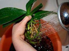 Пересадка орхидеи - YouTube
