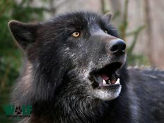 Gray Wolf--Listen to Me!  Stop the Killing of Wolves!!