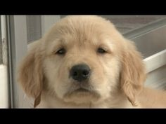 MUST SEE!!! GOLDEN VIDEO OF THE WEEK - Amazing Animal Facts!: Golden Retrievers from The Pet Collective