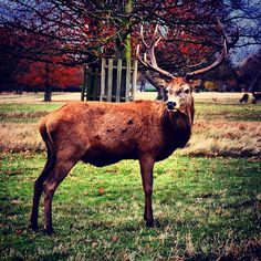 Oh deer! #deer #stag #venison #horns #wild #forest #richmond park #england #traditional