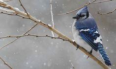 Move over Big Garden Birdwatch, here comes the US Great Backyard Bird Count Love Birds, Beautiful Birds, Big Garden Birdwatch, Great Backyard Bird Count, Blue Jay Bird, Algonquin Park, Winter Mountain, Bird Watching, Bird Feathers