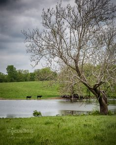 cow pasture pond Living In Alaska, Best Photographers, Cows, Homesteading, To Go, Country Roads, Outdoors, Gardening, Memories