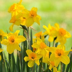 Pictures of Jonquils | the terms jonquil and daffodil are often used interchangeably jonquils ...
