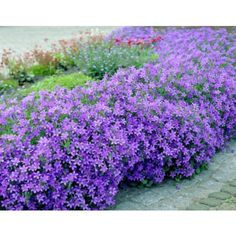 Campanula Portenschlagiana A rapid spreading, perpetual flowering ground cover, vivid blue plant. Garden Shrubs, Shade Garden, Lawn And Garden, Garden Plants, Garden Landscaping, Pot Plants, Back Gardens, Outdoor Gardens, Perennials