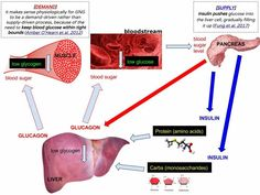 Why controlling gluconeogenesis is important for reversing diabetes? - BreakNutrition