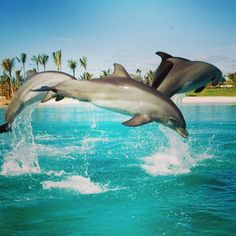 You will dolphinately love Dolphin Cay at Atlantis Resort - Bahamas www.bahamasdaypass.com