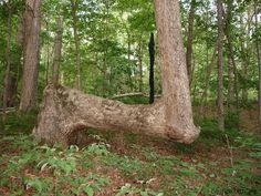 This Cherokee marker tree exhibits the typical sharp bend low on the trunk (near the ground) and a second sharp bend upward. Photo courtesy of the Mountain Stewards.