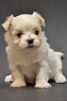 Maltese Puppies at 4 weeks#dogs #Maltese #maltipoo #cutedogs #smalldogs #teacupdogs