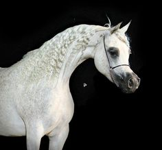 Grisenda Chandra (WH Justice × Garidah by Saymoon) 2003 grey mare bred by Chandra Arabians, Italy