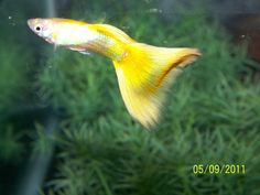 LUKE'S SHOW GUPPIES Guppy, Luke Show, Beautiful Fish, Aquarium Fish, Fish Tank, Patience, Money, Yellow, Live