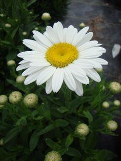 Photo of Shasta Daisy (Leucanthemum x superbum 'Becky') uploaded by Paul2032