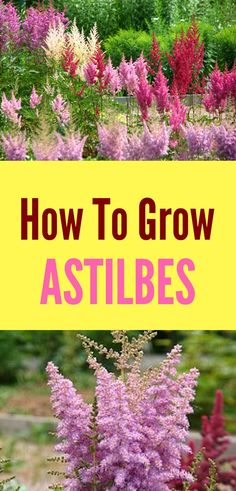 Learn how to grow astilbes with a few simple tips! This low-maintenance perennial is easy to care for as long as you know what it needs to thrive in your garden! #astilbes #lowmaintenanceperennial #gardenideas #perennials