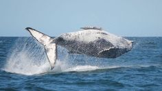 Jumpin Whale  #animal #jumpin #whale #photography