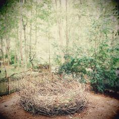 Nest in my backyard.  11ft.