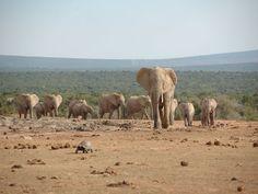 Amazing #tortoise leads a herd of #elephants to waterwhole, Shamwari Game Reserve