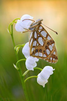 Issoria lathonia -- by zbigniew hudobski