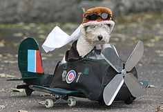 Fox terrier . ..  as far as I can make out, the plane is made from a duffle bag on a skateboard.