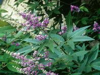 Vitex agnus castus var. latifolia, or Chaste tree, is a large, multistemmed shrub with fine, lacy leaves that are glossy and green. Bright blue flower panicles begin to form in early summer and continue through fall.