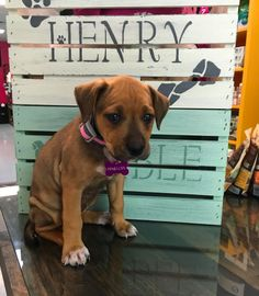 This is Penelope she is the newest member of our dog family at Henry & Rumble - Blue Fish Aquarium. She eventually will be a therapy dog. #puppy #puppies #puppiesofinstagram #dog #dogs #dogsofinstagram #pitbull #pitbulls #puppiesofgrandrapids #dogsofgrandrapids