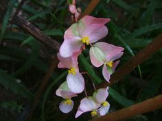 flor purpurina